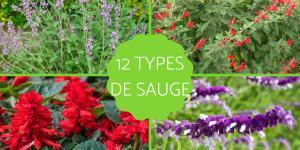 Types de sauges - Variétés, caractéristiques et liste