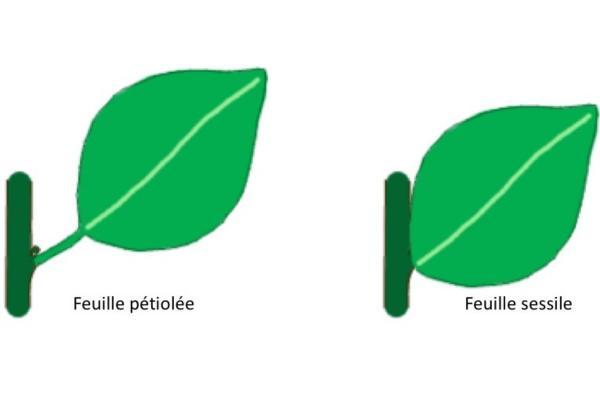 Différents types de feuilles - Schémas, classification et images - Types de feuilles selon le pétiole