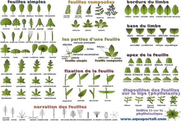 Différents types de feuilles - Schémas, classification et images - Types de feuilles selon leur forme