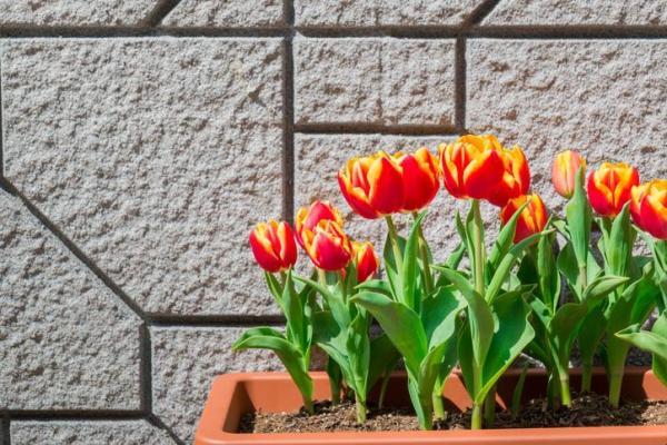 Comment planter des tulipes en pot - Comment prendre soin de tulipes en pot - Un guide pratique