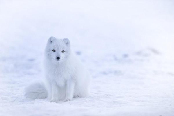 + 20 animaux qui se camouflent - Noms et photos - Renard polaire