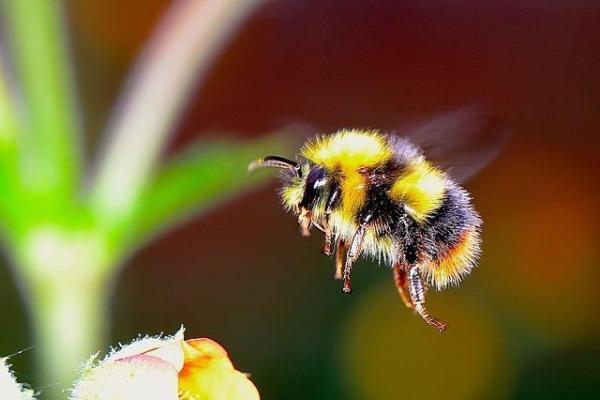 Différences entre abeille, guêpe et bourdon - Différences physiques entre les abeilles, les guêpes et les bourdons