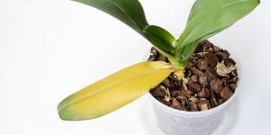Les feuilles de mon orchidée jaunissent : causes et que faire