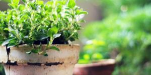 Comment planter de l'origan