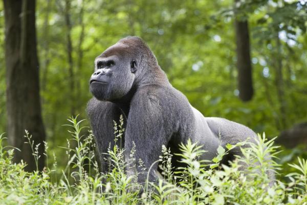 Le gorille est-il une espèce menacée ? - Le gorille est-il une espèce menacée ?