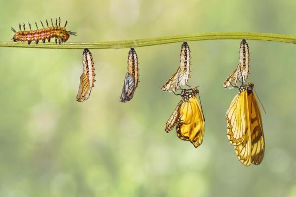Le cycle de vie du papillon : étapes et images - Étape nymphale : stade précédant la métamorphose du papillon