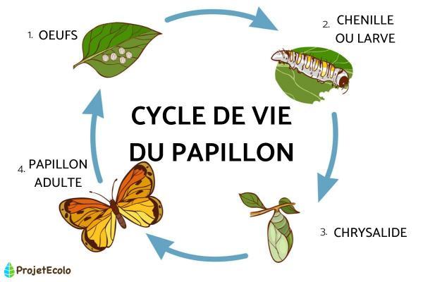 Le cycle de vie du papillon : étapes et images - Les étapes du cycle de vie d'un papillon