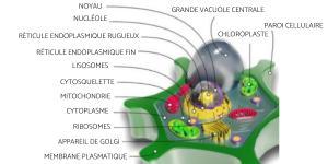 Cellule végétale - Définition, schéma et taille