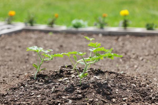 Comment planter des melons - Comment s'occuper des melons ?