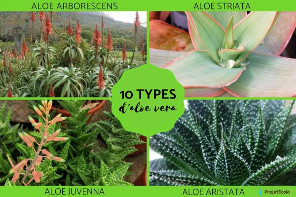 Les différentes variétés d'aloe vera - Noms, caractéristiques et photos