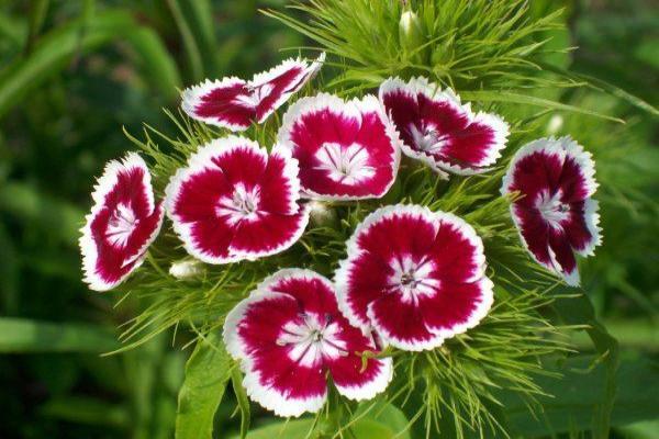 11 plantes qui fleurissent toute l'année - L'œillet