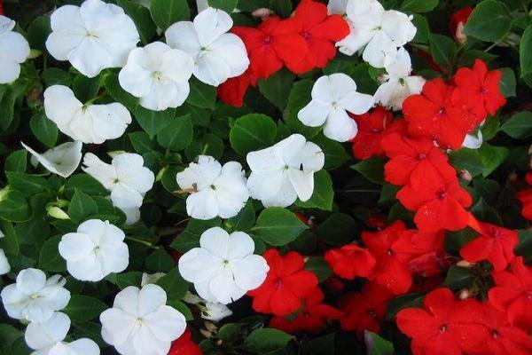 11 plantes qui fleurissent toute l'année - L'Impatiente, une plante qui fleurit toute l'année