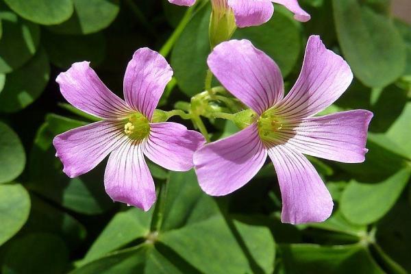11 plantes qui fleurissent toute l'année - Oxalis