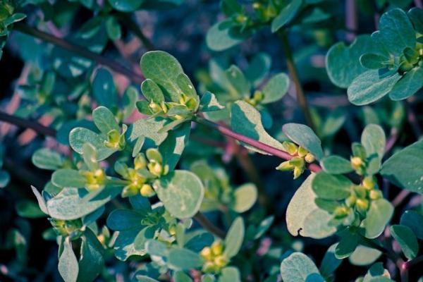 11 plantes qui fleurissent toute l'année - Pourpier