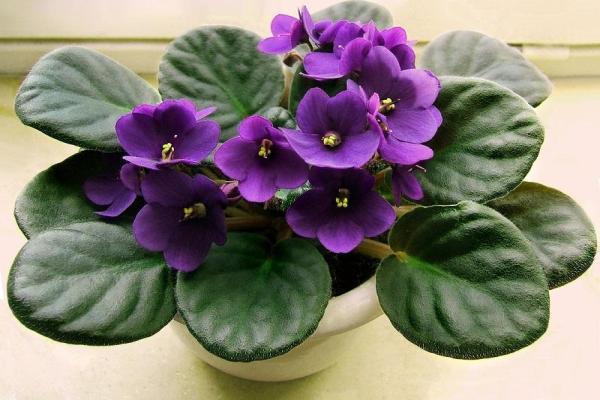 11 plantes qui fleurissent toute l'année - Saintpaulia, plante avec des fleurs toute l'année