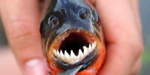 Les 10 poissons les plus dangereux du monde - Liste et caractéristiques