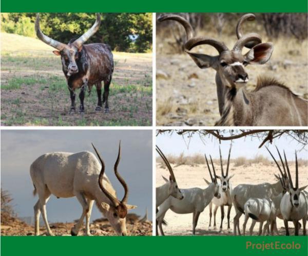+20 animaux à cornes - Noms et photos - Animaux à cornes d'Afrique
