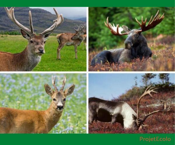 +20 animaux à cornes - Noms et photos - Que sont les cornes ou les bois ?