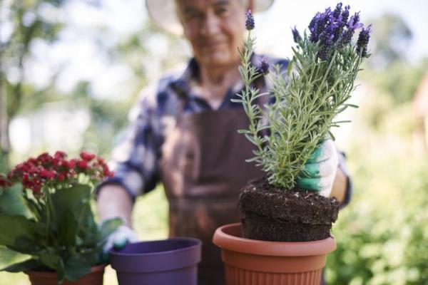 Comment planter la lavande - Comment planter la lavande en pot ?