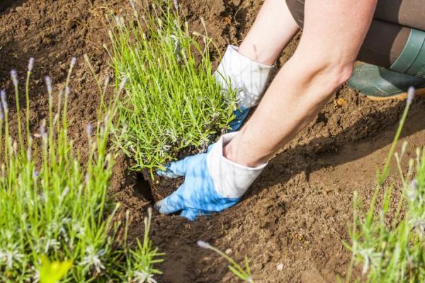 Comment planter la lavande - Comment planter la lavande en terre