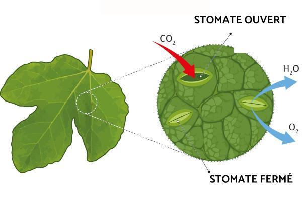 Les stomates - Définition, schéma et types - Définition des stomates