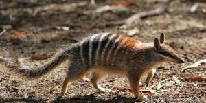 Animaux d'Australie en voie de disparition