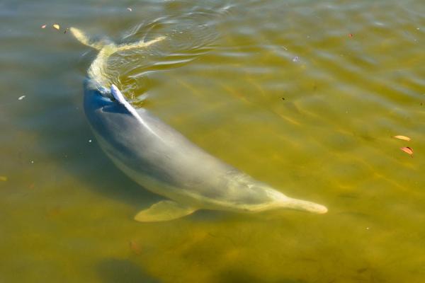 Animaux d'Australie en voie de disparition - Dauphin à bosse australien