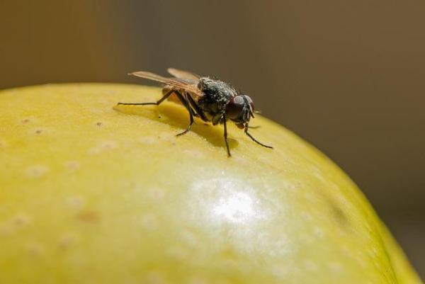A quoi servent les mouches - Utilité des mouches - Décomposeurs et recycleurs de matières organiques