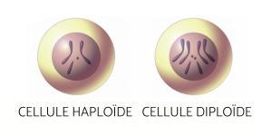 Cellule haploïde et diploïde - Définition et différence avec schéma