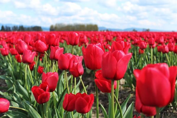 Quand planter des tulipes - Quand planter des tulipes - hémisphère Sud