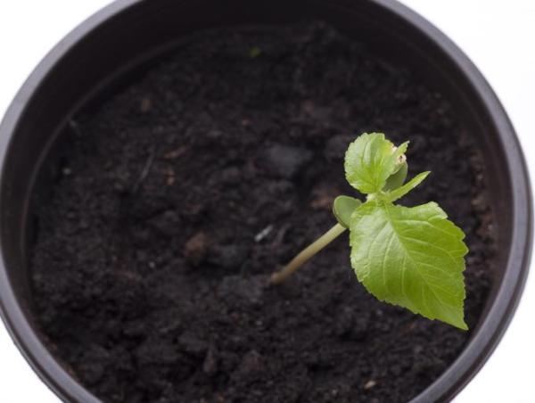 Quand et comment planter un cerisier - Comment planter un cerisier en pot