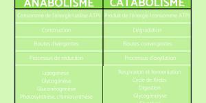 Anabolisme et catabolisme : Définition et différences