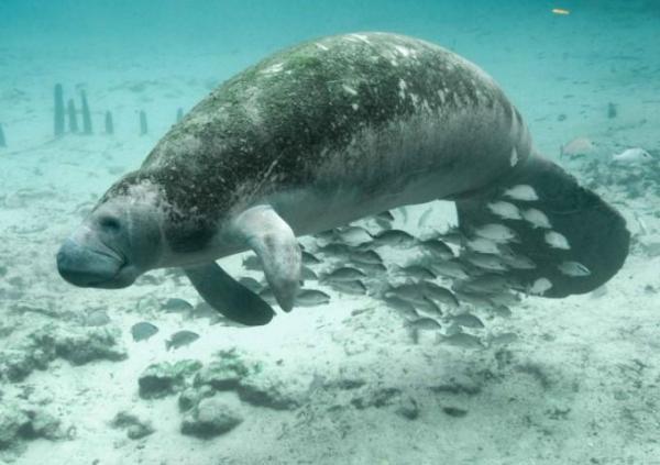 Animaux d'Amérique du Sud en voie de disparition - Lamantin des caraïbes
