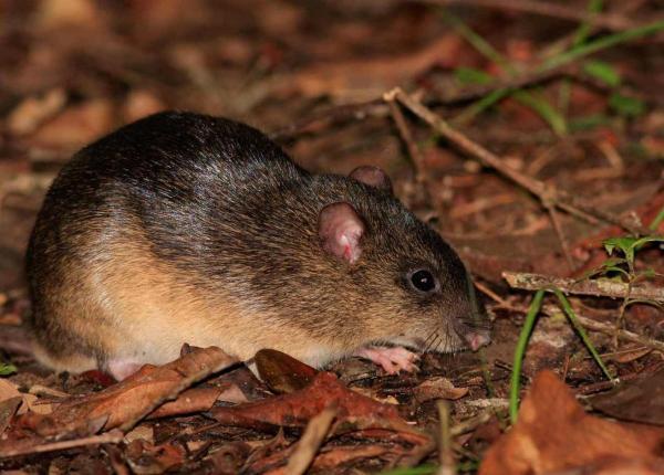 Animaux d'Amérique du Sud en voie de disparition - Melanomys zunigae ou rat de riz noir de Zuniga