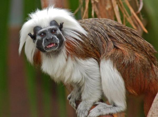 Animaux d'Amérique du Sud en voie de disparition - Pinché à crête blanche