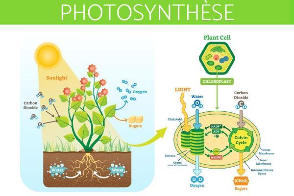 Qu'est-ce que la photosynthèse - Définition, principe et formule - Principe de la photosynthèse