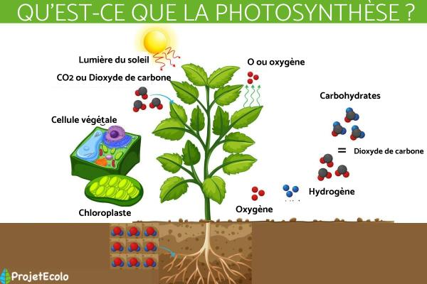 Qu'est-ce que la photosynthèse - Définition, principe et formule