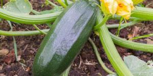 Comment planter des courgettes