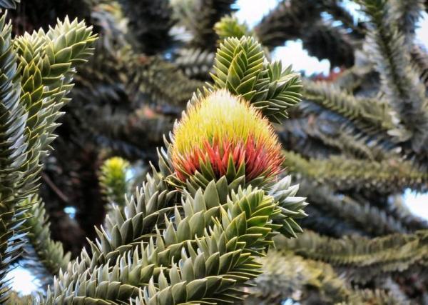 Liste des arbres en voie de disparition - Araucaria du Chili