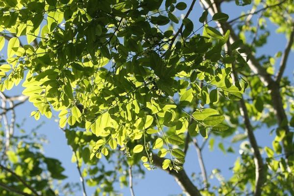 Liste des arbres en voie de disparition - Cocobolo