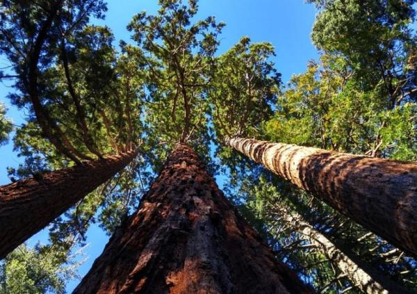 Liste des arbres en voie de disparition